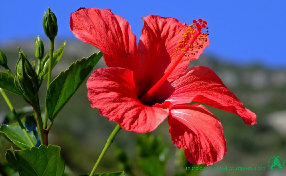 Orienta o farmac utica o ex tico cultivo do hibisco e os for Ibisco in inverno