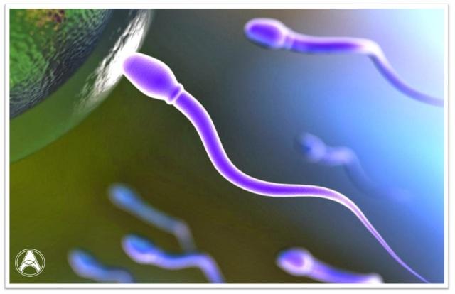espematozoides
