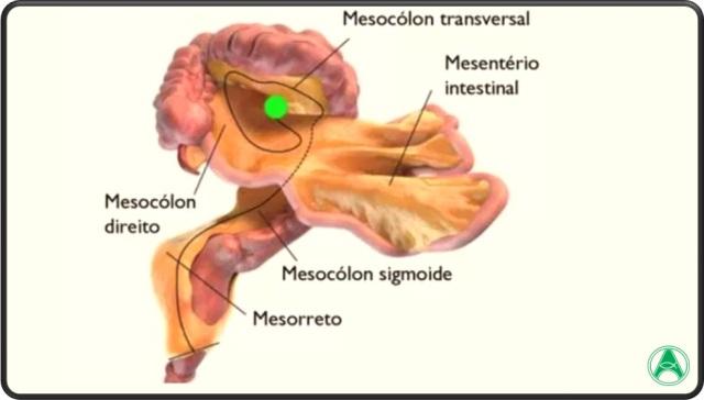 mesenterio