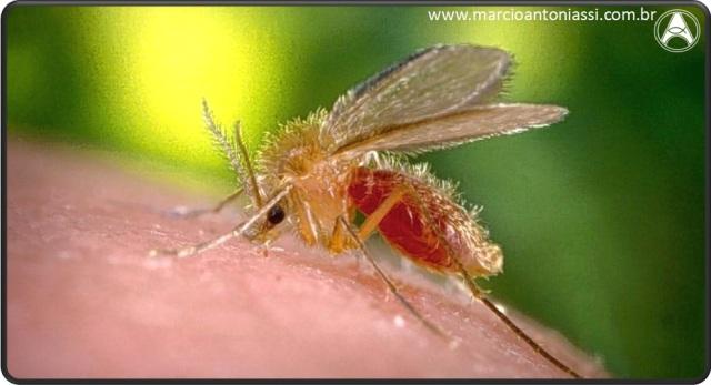 mosquito Leishmaniose